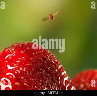 FRUIT-FLY (Drosophila melanogaster) in flight having just taken-off from strawberry. A 3mm fruitfly is caught at 1/60,000 sec as it flies over a straw - Stock Photo