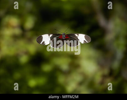 SAPHO HELICONIuS (Heliconius sapho) in flight,  HELICONIDAE, Central America. *HIGHER RATES APPLY* - Stock Photo