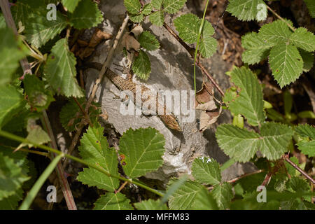 Blue-throated Keeled Lizard, Algyroides nigropunctatus, Corfu - Stock Photo