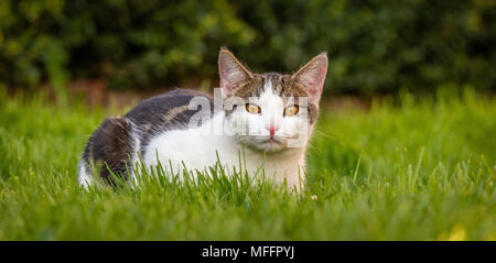 Horizontal photo with six months old kitten. Tomcat has wite fur with tabby spots on head and back. Animal has nice bright orange eyes. Cat is resting - Stock Photo