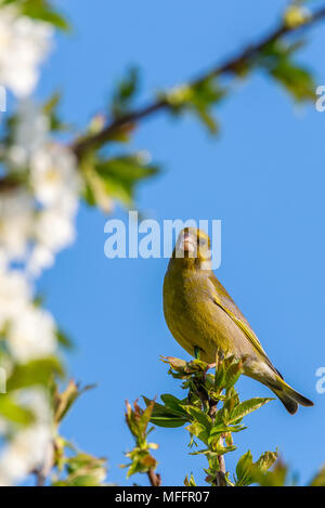 Vertical photo of single male green finch. Bird is perched on twig of cherry tree.  Other twig are full of fresh spring green leaves and white blooms. - Stock Photo