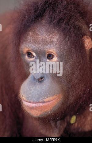 SUMATRAN ORANGUTAN Pongo abelii (Previously Pongo pygmaeus abelii) Critically endangered. Singapore Zoo - Stock Photo