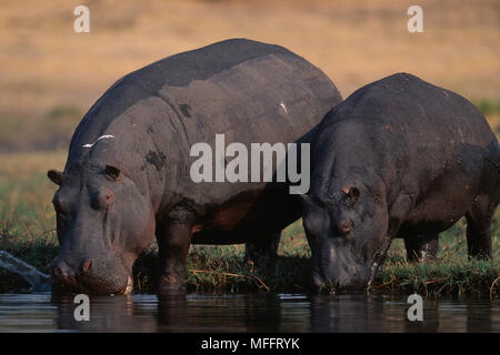 HIPPOPOTAMUSES entering water    Hippopotamus amphibius after basking. Chobe River, Chobe National Park, Botswana,South Africa - Stock Photo