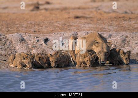 AFRICAN LION female & five young Panthera leo drinking at waterhole Savuti, Chobe National Park, Botswana, Africa - Stock Photo