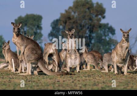 EASTERN GREY KANGAROOS Macropus giganteus  large group, Australia. - Stock Photo