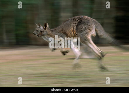 EASTERN GREY KANGAROOS  Macropus giganteus  two bounding. Australia - Stock Photo