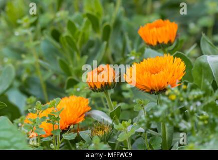 Pot Marigold (Calendula officinalis, English marigold, Ruddles, Common marigold, Scotch marigold) blooming in Spring in the UK. - Stock Photo