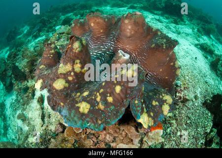 Giant clam, Tridacna gigas, Vulnerable (IUCN), Raja Ampat, Irian Jaya, West Papua, Indonesia, Pacific Ocean - Stock Photo