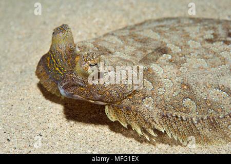 Wide-eyed flounder, (Bothus podas) living on sand and rubble, Marine Reserve, Monaco, Mediterranean Sea  Mission: Larvotto marine Reserve - Stock Photo