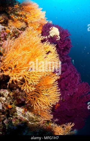 Red sea fan, Paramuricea clavata and yellow gorgonian, Eunicella cavolini, Stupiste Out dive site, Vis Island, Croatia, Adriatic Sea, Mediterranean - Stock Photo