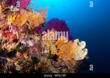 Yellow gorgonian, Eunicella cavolini Red sea fan, Paramuricea clavata and Coral Worm, Filograna implexa, Stupiste In dive site, Vis Island, Croatia, A - Stock Photo