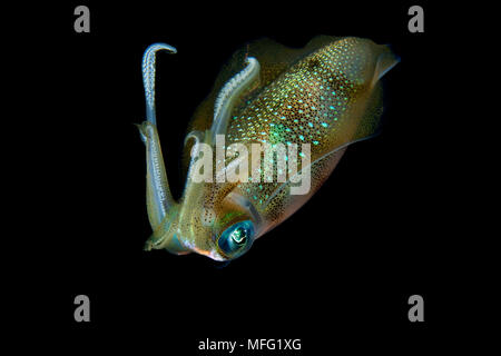 Big reef squid, Sepioteuthis lessoniana, Maldives, Indian Ocean - Stock Photo