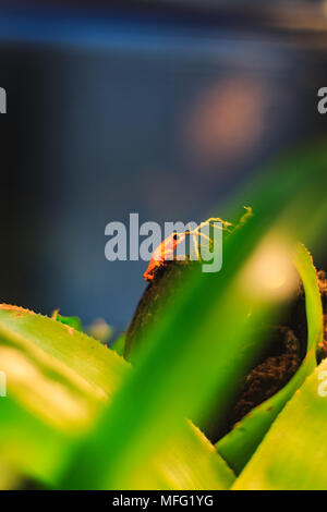Closeup of a Golden Poison Arrow Frog in natural rainforest environment - Stock Photo