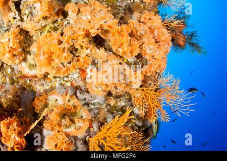Bryozoa, Sertella septentrionalis , 'La Botte' dive site, Ponza island, Italy, Tyrrhenian Sea, Mediterranean - Stock Photo