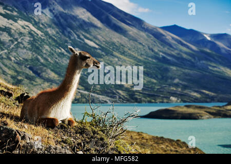 GUANACO Lama guanicoe standing on hillside overlooking the Lago Nordenskjöld (Lagoon). Torres del Paine National Park.,Chile. - Stock Photo