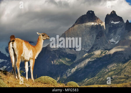 GUANACO Lama guanicoe standing on hillside overlooking the Lago Nordenskjöld (Lagoon). Torres del Paine National Park,Chile. - Stock Photo