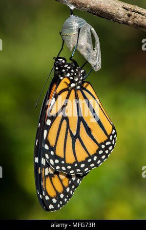 Monarch butterfly, Danaus plexippus, emerging from cocoon, Canada - Stock Photo