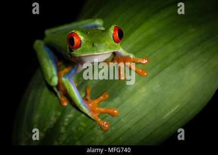 Red-eyed tree frog (Agalychnis callidryas) Costa Rica. - Stock Photo