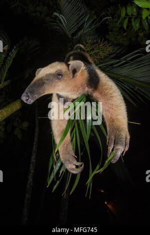 Northern Tamandua, Tamandua mexicana, Nicoya Peninsula, Costa Rica - Stock Photo