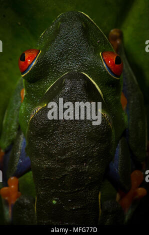 Red-eyed tree frogs, Agalychnis callidryas, in amplexus in Tortuguero National Park, Costa Rica - Stock Photo