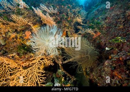 Spirograph worm, Sabella spallanzani, and yellow seafan, Le Scole southern cape, Giglio Island, Tuscany Archipelago, Tuscany, Italy, Thyrrenian Sea, M - Stock Photo