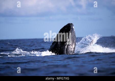Spy hope humpback whale, Megaptera novaeangliae, Vulnerable (IUCN), Silver Bank, Turks & Caicos, Caribbean Sea, Atlantic Ocean  Date: 22.07.08  Ref: Z - Stock Photo