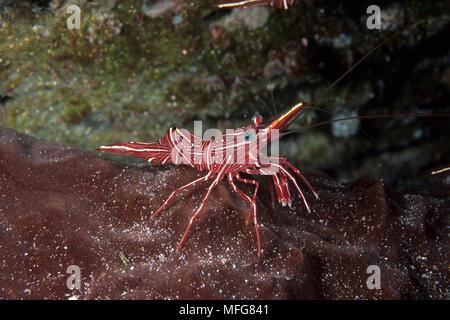 Durban hinge-beak shrimp, Rhynchocinetes durbanensis, Komodo archipelago islands, Komodo National Park, Indonesia, Pacific Ocean    Date: 23.07.08  Re - Stock Photo