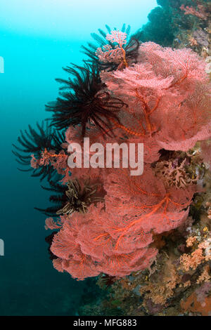 Large sea fans, Melithaea sp. and feather stars, Gangga Island Resort, North Sulawesi, Indonesia, Pacific Ocean  Date: 23.07.08  Ref: ZB777 117149 002 - Stock Photo