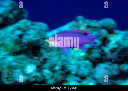 Purple anthias, Pseudanthias tuka, (male) Walindi, West New Britain, Papua New Guinea, Pacific Ocean - Stock Photo