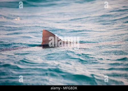 Dorsal fin of tiger shark, Galeocerdo cuvier swimming at the surface, Northern Bahamas, Caribbean Sea, Atlantic Ocean - Stock Photo