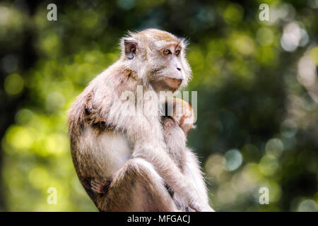 Mother and juvenile macaca fascicularis (common name: crab-eating macaque) at Pulau Ubin in Singapore with copy space. - Stock Photo
