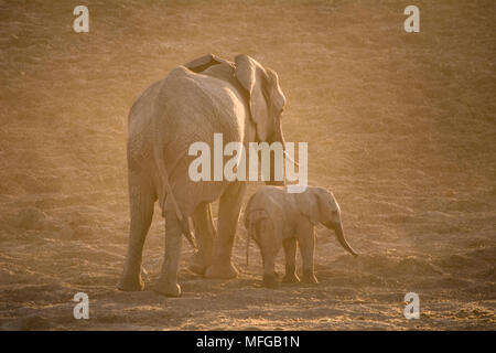Mother and calf elephant walking off into the setting sun - Stock Photo