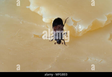 LARDER BEETLE  Dermestes lardarius - Stock Photo