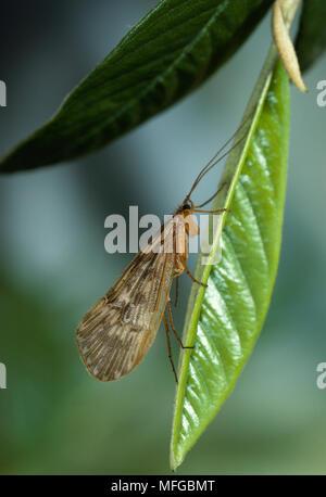 CADDIS FLY on leaf - Stock Photo