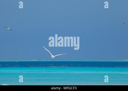 red-tailed tropicbird or red tailed tropic bird, Phaethon rubricauda rothschildi, Sand Island, Midway, Atoll, Midway Atoll National Wildlife Refuge, P - Stock Photo
