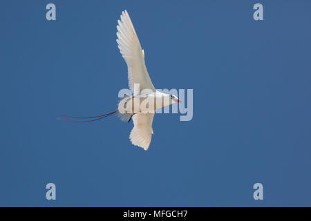 red-tailed tropicbird, or red tailed tropic bird, Phaethon rubricauda rothschildi, courtship flight, Sand Island, Midway, Atoll, Midway Atoll National - Stock Photo