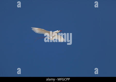 red-tailed tropicbird, or red tailed tropic bird, Phaethon rubricauda rothschildi, courtship flight, dance, or display, Sand Island, Midway, Atoll, Mi - Stock Photo
