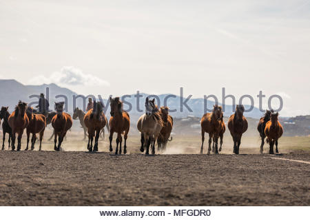 Wild Yılkı Horses In Nature - Stock Photo
