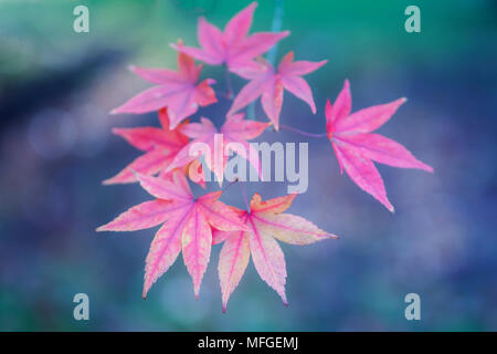 Soft focus pastel colour autumn leaves in Arboretum - Stock Photo