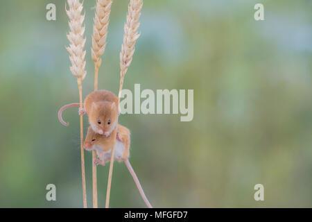 Cute harvest mice climbing on corn - Stock Photo
