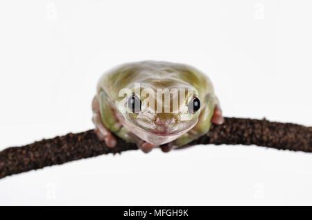 White tree frog on branch, Studio shoot