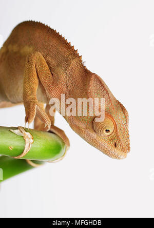 Close up chameleon on branch - Stock Photo