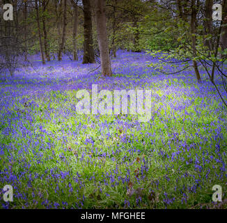Bluebell Woods of Bawtry - Stock Photo