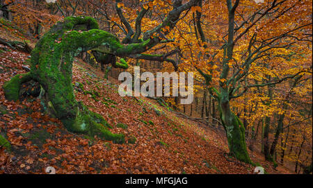 Beech forest in autumn, Germany. - Stock Photo