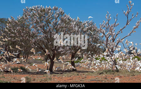 Little Corella (Cacatua sanguinea), Fam. Cacatuidae, Large flocks of Corellas regularly gather around watering points, Mulyangarie Station, South Aust - Stock Photo
