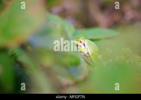 Closeup of a small European tree frog (Hyla arborea or Rana arborea), resting in a blackberry bush heating up in the sun. - Stock Photo