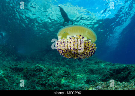 Swimmer and Mediterranean jelly or fried egg jellyfish, Cotylorhiza tubercolata, Marine Protected area Punta Campanella, Massa Lubrense, Penisola Sorr - Stock Photo
