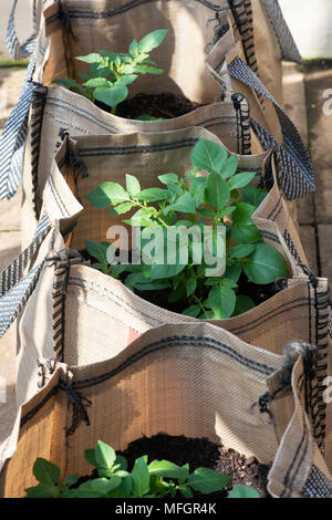Solanum tuberosum. Potato Vizelle plants growing in sacks in early spring. England - Stock Photo