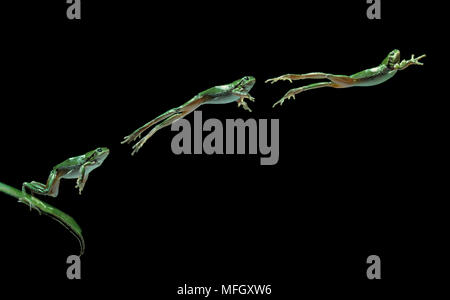 EUROPEAN TREEFROG Hyla arborea leaping from leaf (multiflash) Image carries 50% surcharge - Stock Photo