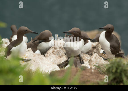 Guillemots on Skomer Island, Pembrokeshire, Wales, United Kingdom, Europe - Stock Photo